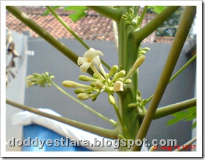 papaya flower 08