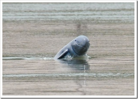 freshwater-dolphins-threatened-irrawaddy