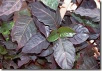 Daun ungu wungu (Graptophyllum pictum (L). Griff)
