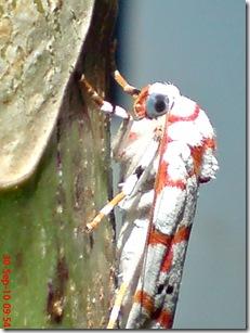 ngengat putih bergaris merah 017
