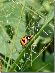 kumbang kepik 7