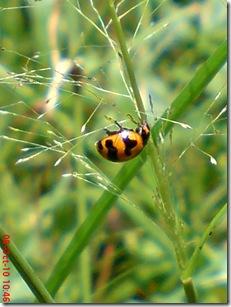 kumbang kepik 15