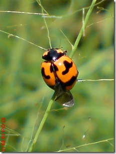 kumbang kepik 3