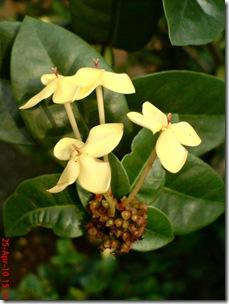 bunga siantan kuning 12