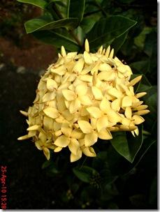 bunga siantan kuning 09