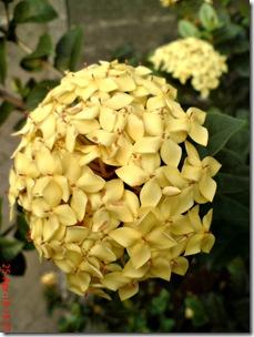 bunga siantan kuning 05