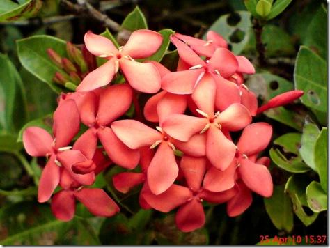 bunga siantan merah 08