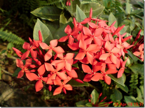 bunga siantan merah 03