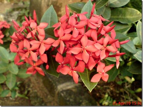 bunga siantan merah 06
