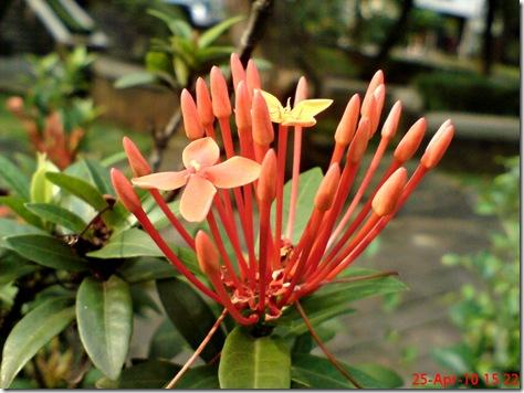 bunga siantan oranye 08