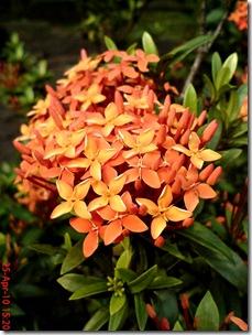 bunga siantan oranye 02