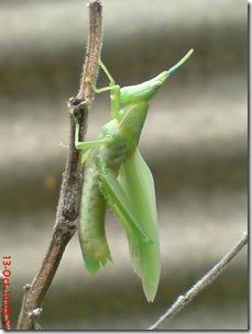 belalang ganti kulit 23