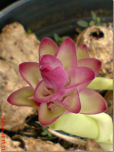 bunga temulawak 08