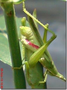 belalang hijau kawin tampak belakang 03