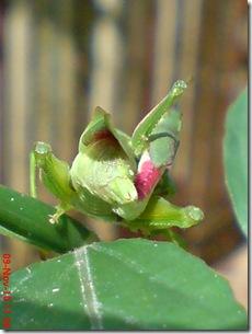 belalang hijau kawin tampak belakang 15