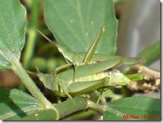 belalang hijau kawin tampak belakang 33