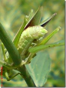 belalang hijau kawin tampak belakang 31