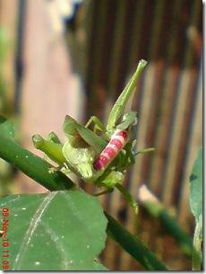 belalang hijau kawin tampak belakang 26