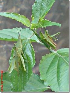 2 pasang belalang hijau kawin 15