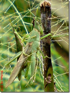 green grasshopper mating front view 18