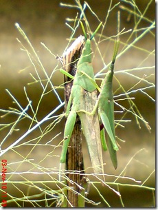 green grasshopper mating over view 01