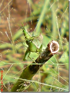 green grasshopper mating front view 04