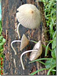 jamur seperti payung layu 11