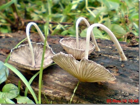 jamur seperti payung layu 20