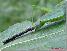 belalang berak 3