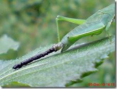 belalang berak 4