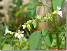 Oxalis barrelieri-Belimbing Tanah-Lavender sorrel 18