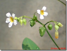 Oxalis barrelieri-Belimbing Tanah-Lavender sorrel 04