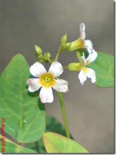 Oxalis barrelieri-Belimbing Tanah-Lavender sorrel 03