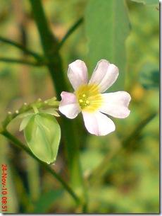 Oxalis barrelieri--Lavender sorrel-Belimbing Tanah 07