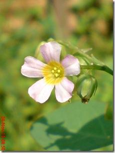 Oxalis barrelieri--Lavender sorrel-Belimbing Tanah 03