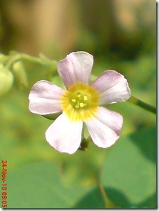 Oxalis barrelieri--Lavender sorrel-Belimbing Tanah 12