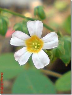 Oxalis barrelieri--Lavender sorrel-Belimbing Tanah 17