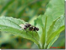 lalat kecil kawin 04