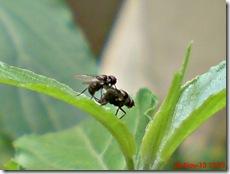 lalat kecil kawin 06