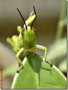 wajah belalang warna hijau 05
