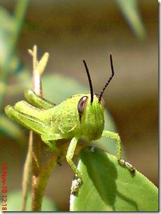 wajah belalang warna hijau 04