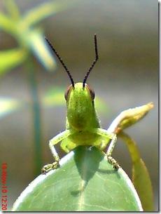 wajah belalang warna hijau 12
