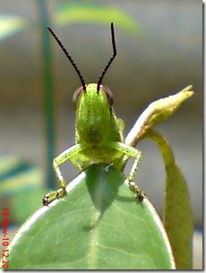 wajah belalang warna hijau 11