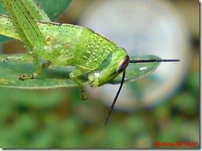 Belalang sedang makan