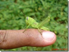 anak belalang berwarna hijau 02