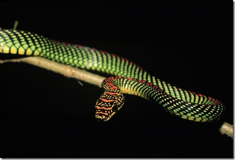 The paradise tree snake, C. paradisi, can glide dozens of meters from tree to tree