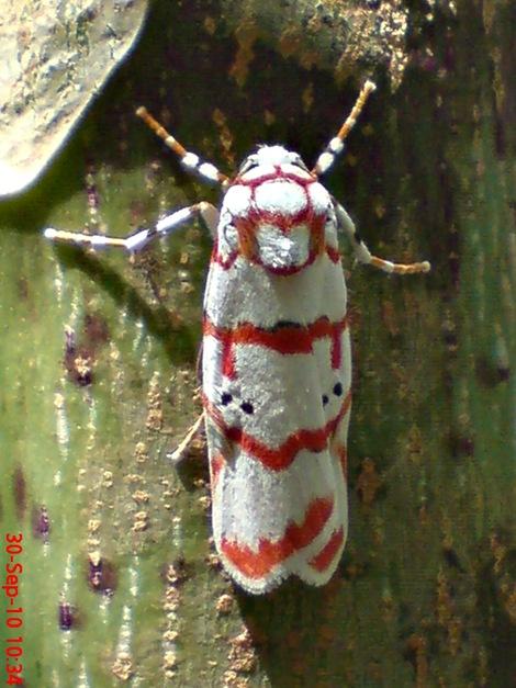 DSC05004 Cyana conclusa ngengat putih bergaris merah