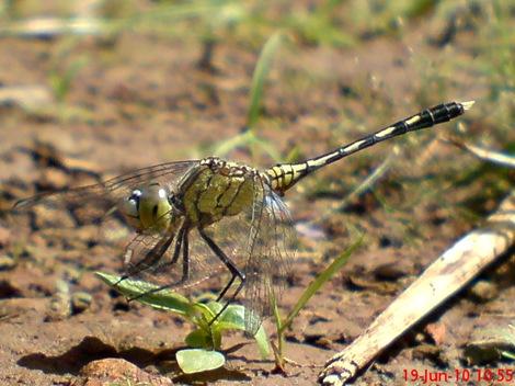 Diplacodes trivialis betina ground skimmer