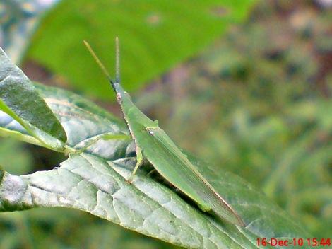 belalang hijau Atractomorpha crenulata vegetable grasshopper DSC03545