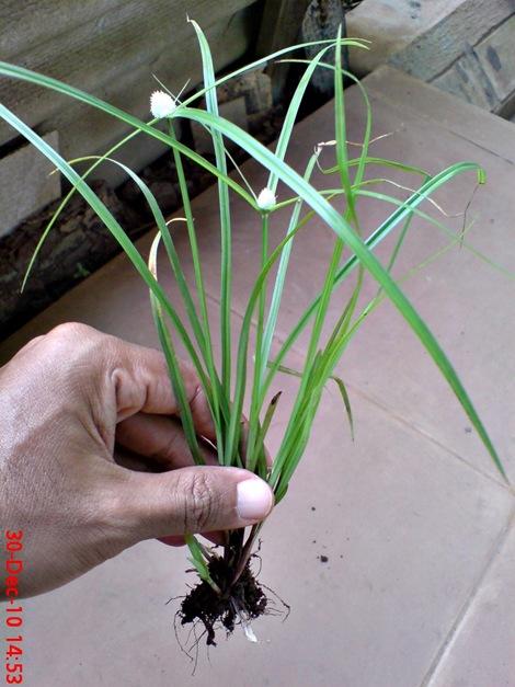 rumput whitehead spikesedge Kyllinga nemoralis 1